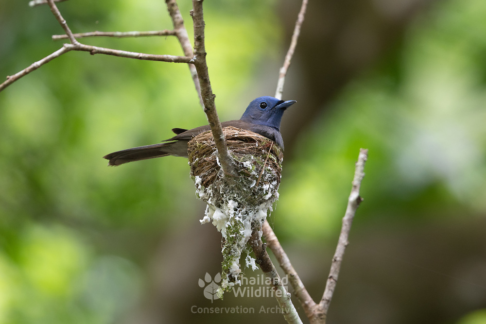 """The black-naped monarch or black-naped blue flycatcher (Hypothymis azurea) is a slim and agile passerine bird belonging to the family of monarch flycatchers found in southern and south-eastern Asia. They are sexually dimorphic, with the male having a distinctive black patch on the back of the head and a narrow black half collar (""""necklace""""), while the female is duller with olive brown wings and lacking the black markings on the head."""