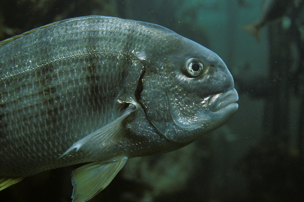 South Africa, Cape Town, Atlantic Ocean Fish swimming in Kelp Forest exhibit at Two Oceans Aquarium