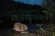 Eurasian beaver (Castor Fiber) foraging at night, Knapdale Forest, Argyll, Scotland.
