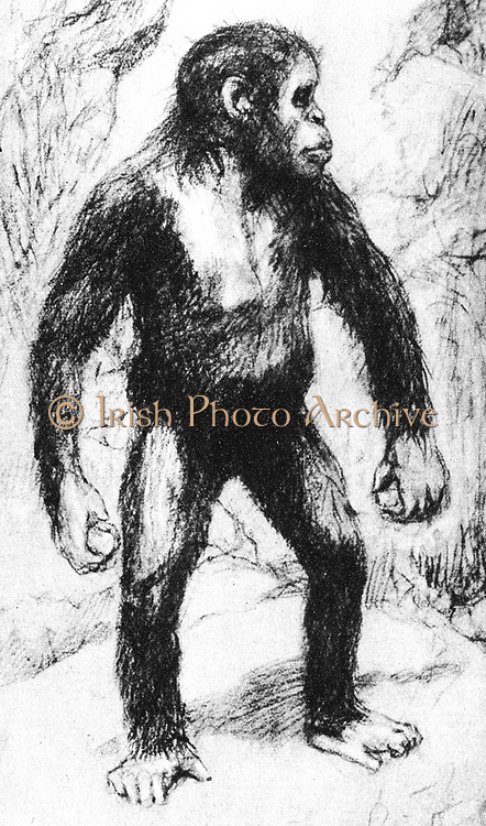 Taungs Ape-Man. Artist's drawing of Grafton Elliot Smith's (1871-1937) the Australian anatomist and ethnologist's idea of appearance of young Australopithecus Africanus.