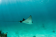 Spotted Eagle Ray (Aetobatus narinari)<br /> Hol Chan Marine Reserve<br /> near Ambergris Caye and Caye Caulker<br /> Belize<br /> Central America