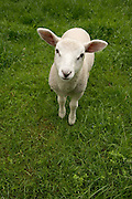 lamb standing in grass field