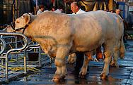 06/10/05 - COURNON - PUY DE DOME - FRANCE - Sommet de l Elevage a la Grande Halle d Auvergne. Concours Special CHAROLAIS 2005 - Photo Jerome CHABANNE/KR IMAGES