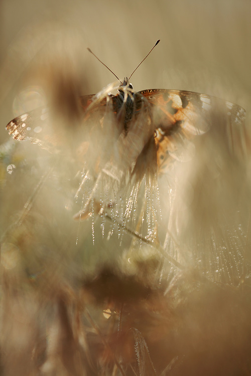 Painted Lady butterfly, Cynthia cardui. <br /> Stenje region, Lake Macro Prespa (850m) <br /> Galicica National Park, Macedonia, June 2009<br /> Mission: Macedonia, Lake Macro Prespa /  Lake Ohrid, Transnational Park<br /> David Maitland / Wild Wonders of Europe