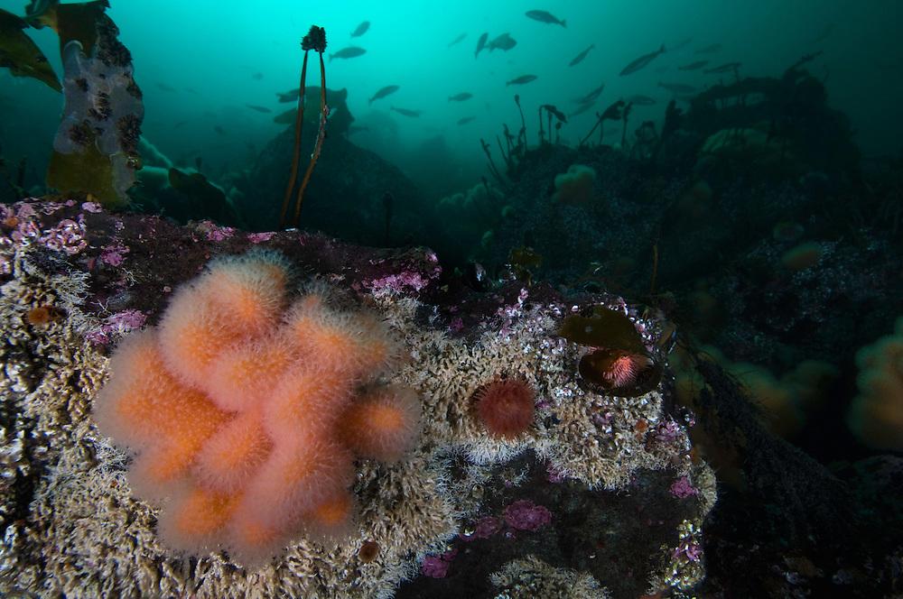 Dead man's finger, Alcyonium digitatum, and underwater scenery<br /> Atlantic marine life, Saltstraumen, Bod&ouml;, Norway