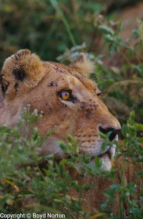 Lioness on the alert for prey