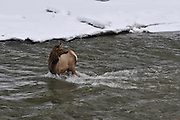 Yearling Elk, Salmon River, Idaho, Winter