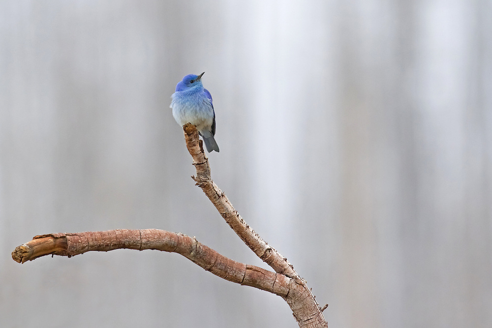 During early spring, a flash of color brightens Wyoming's dark and snowy landscape as flocks of mountain bluebirds return to their summer home.
