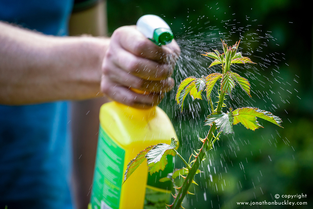 Spraying unwanted brambles with glysophate weed killer before they flower