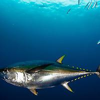 A yellowfin tuna (Thunnus albacares) underwater off Mexico