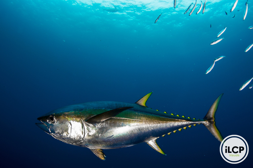 A yellowfin tuna (Thunnus albacares) underwater off Mexico