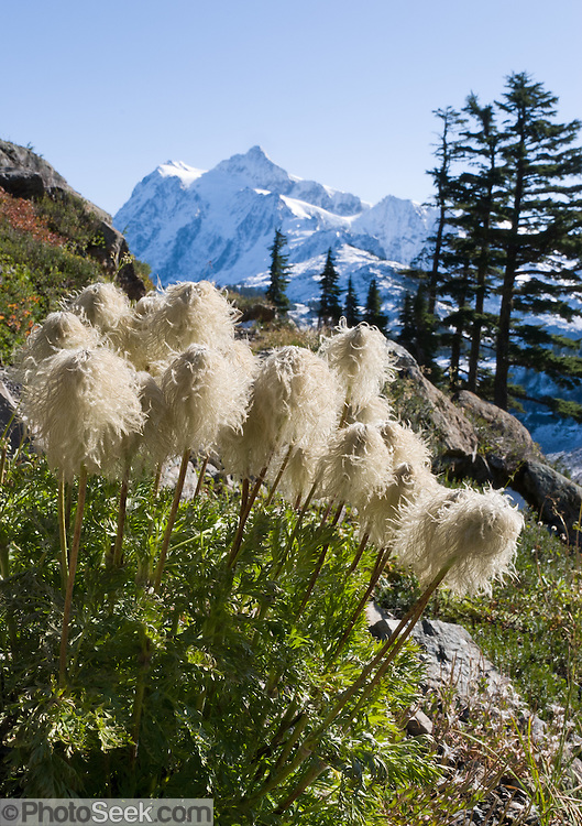 Anemone seed heads blow in the wind along the Chain Lakes Loop trail, in Mount Baker Wilderness.  Anemone occidentalis (Western pasqueflower) is an herbaceous plant species in the genus Anemone (or Pulsatilla) and family Ranunculaceae. In the background rises the icy peak of Mount Shuksan (9127 feet elevation), located in North Cascades National Park. Anemone occidentalis is native to far western North America including British Columbia to California and Montana, found growing in gravelly soils on slopes and in moist meadows.