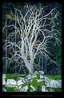 """""""Spirit Tree"""" - 20x30 inches, acrylic on canvas. Prints are available on canvas or paper. The original is sold."""