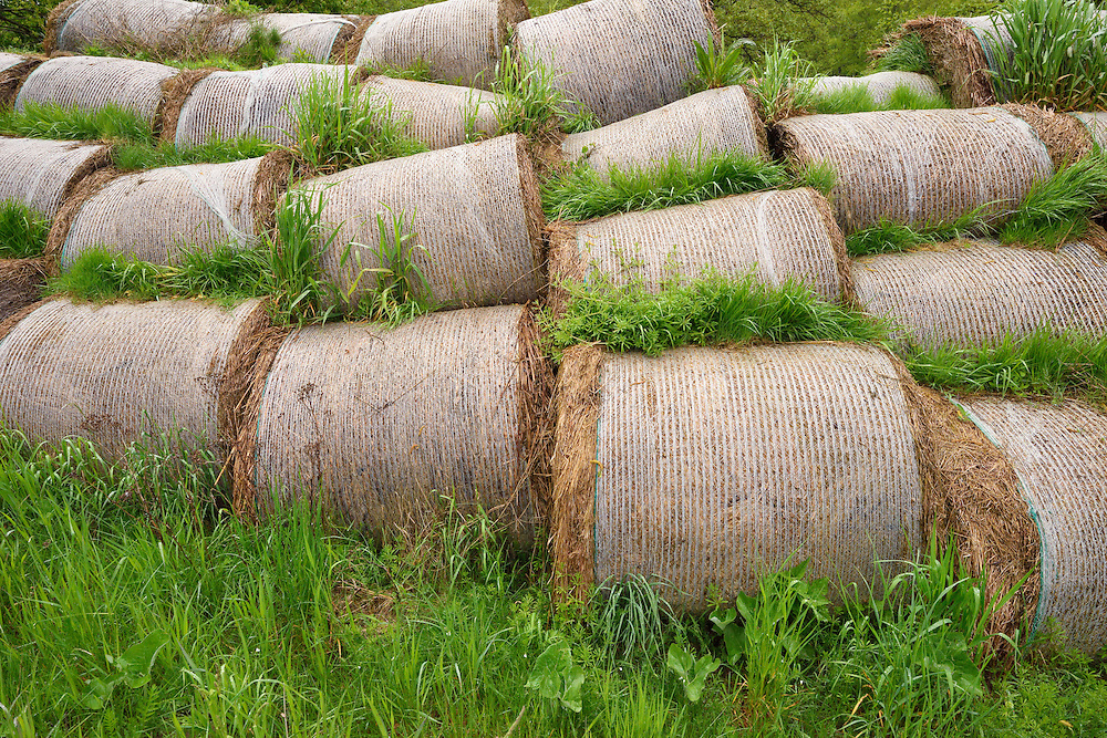 Hay bales, lying to rot, harvested because of EU subventions, but no one wants to buy them. Nemunas River Delta, Lithuania