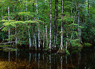 Cypress forest at edge of pool, Big Cypress National Preserve, © 2003 David A. Ponton