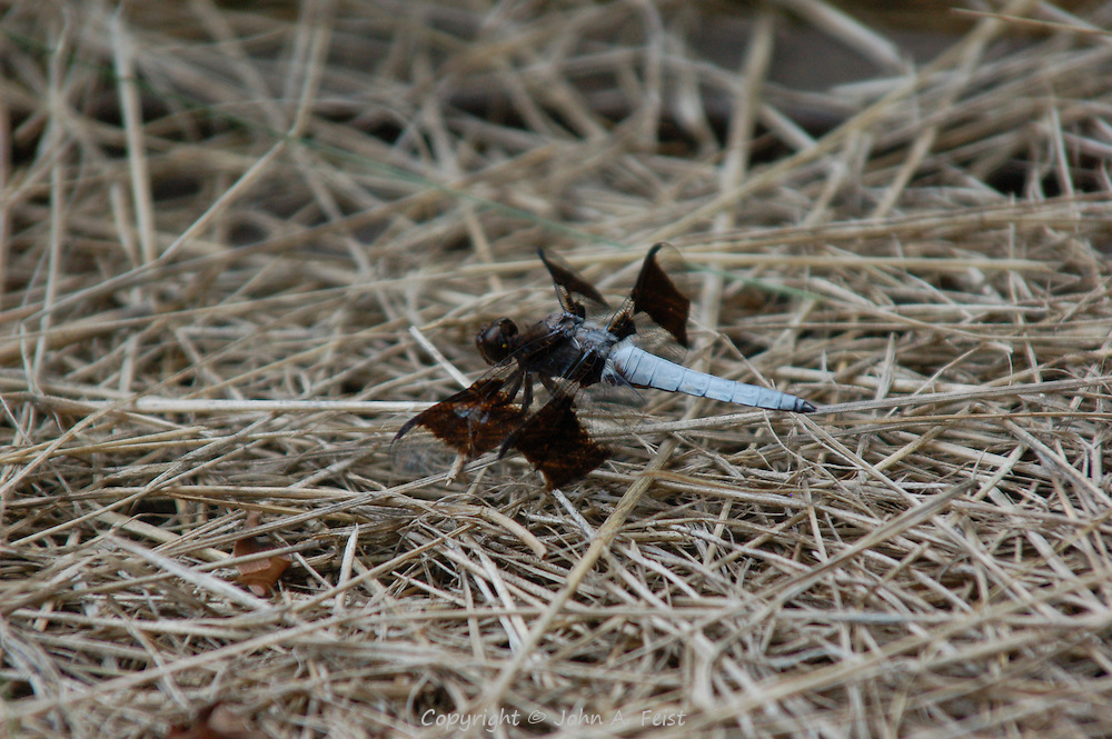 A dragon fly with very interesting coloring and wing shape.  Kripalu, Stockbridge, MA