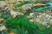Tidal pool. Vancouver Island., Pacific Rim National Park, British Columbia, Canada