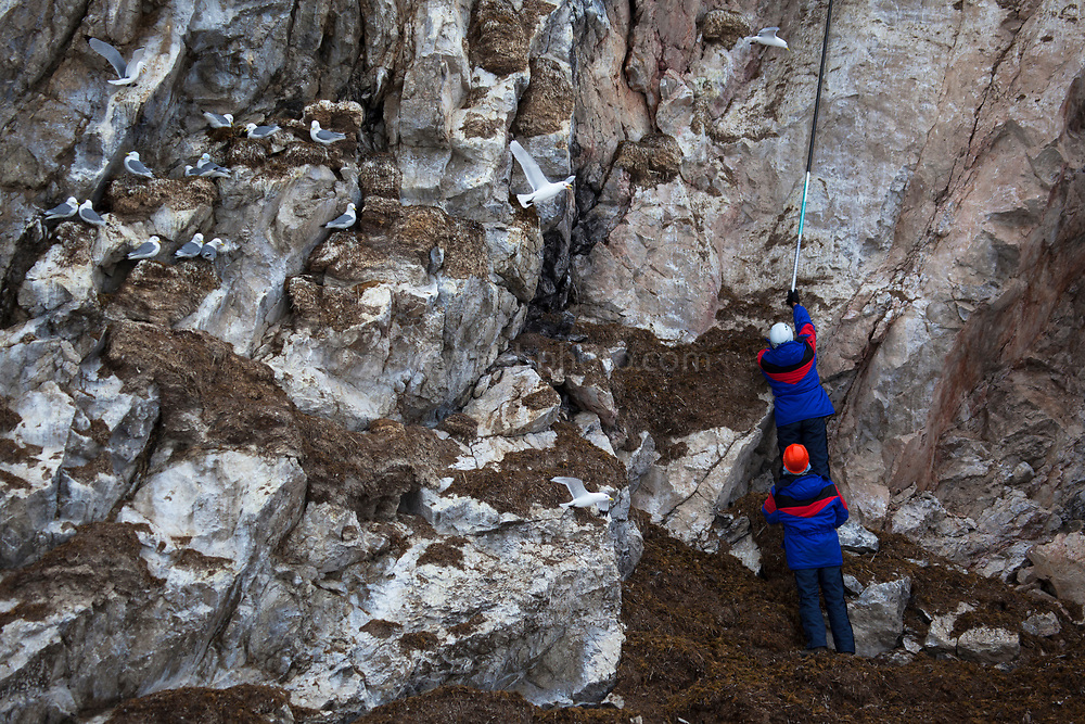 Scientists visit and examine Black legged Kittiwake nests in Kongsford, near Ny Alesund on the Arctic archipelago of Svalbard
