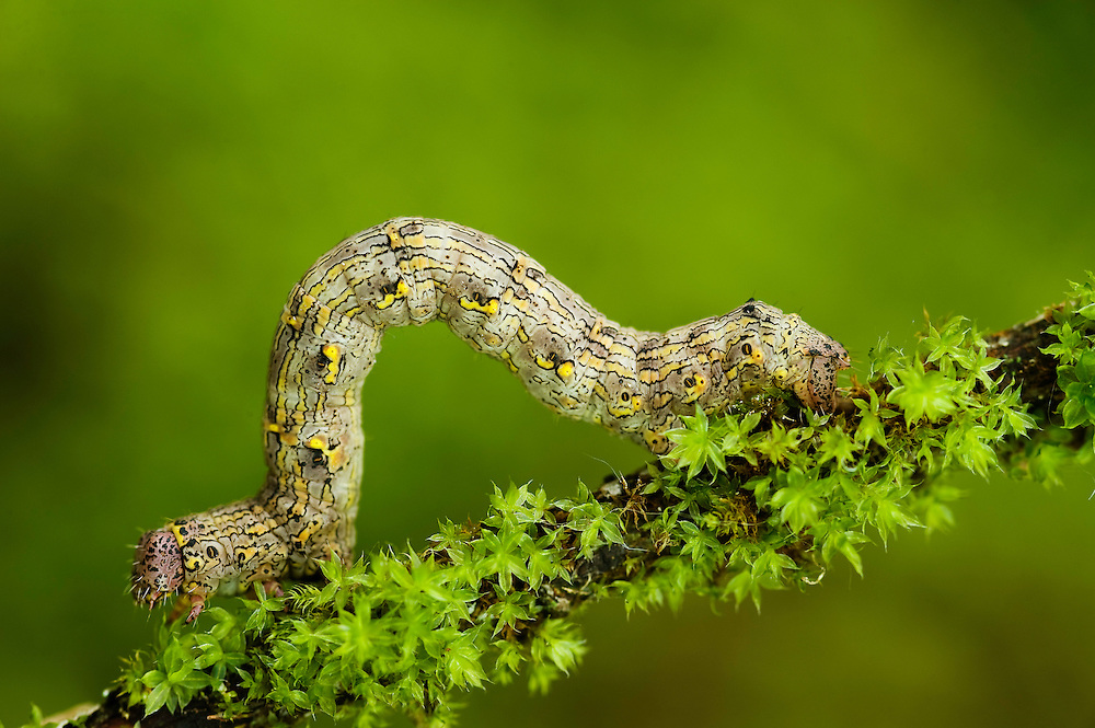 Caterpillar of a Geometer moth (Geometridae sp.)<br /> Triglav National Park, Slovenia<br /> June 2009