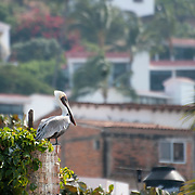 Brown pelicans near the north end of the Malecon in Puerto Vallarta. (Photo/William Byrne Drumm)
