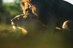 Mating lions (Panthera leo) in Masai Mara, Kenya