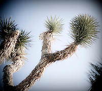 A Joshua tree cactus at Joshua Tree National Park in Southern California.