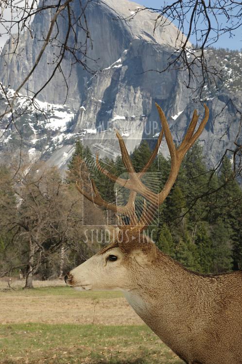Deer in the wild