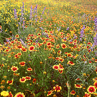 Spring wildflowers in West Texas
