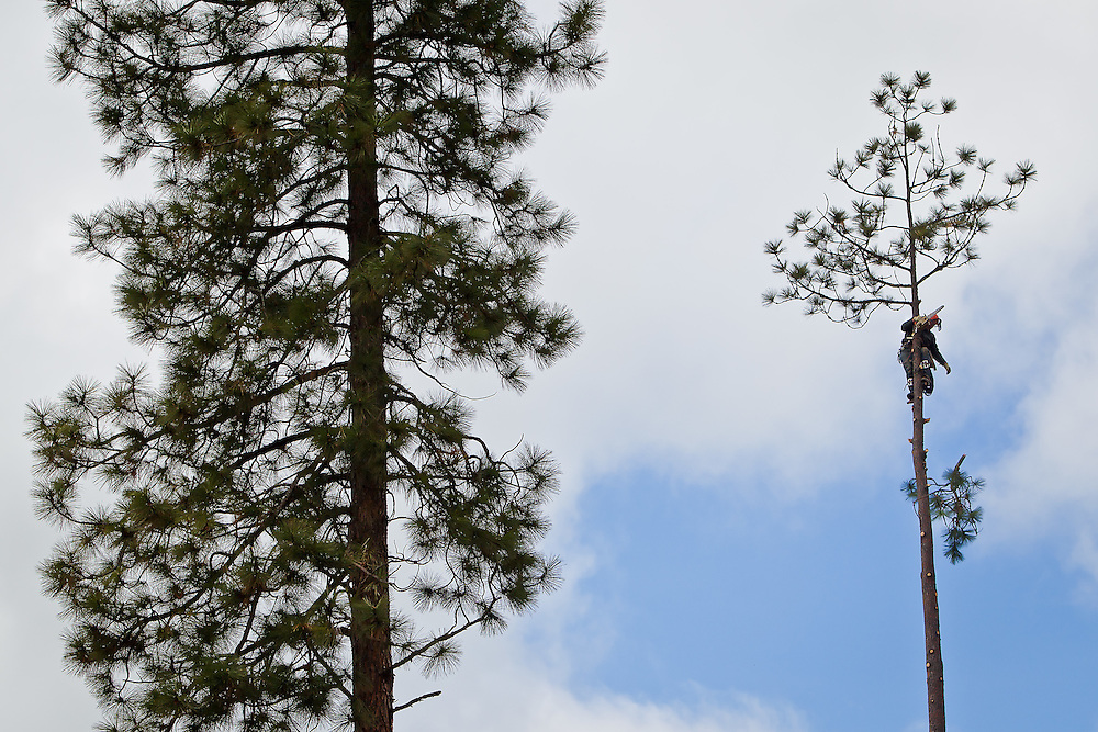 Nolan Gaul, with Nolan's Tree Service, drops a branch from a 120-foot pine tree he was cutting down in the backyard of a home Tuesday in Post Falls.