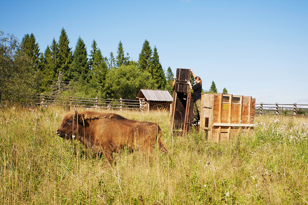 Two year-old male European Bison or Wisent (Bison bonasus) in an accomodation enclosure in Bieszczady National Park shortly after its release. The bison was donated by Prague Zoo. Bieszczady National Park. Bukowiec, Poland.