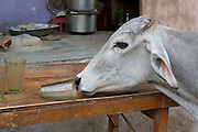 India, Rajasthan, Pushkar cow in the market