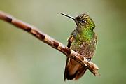 Buff-tailed Coronet (Boissonneaua flavescens) from Mindo, Ecuador.