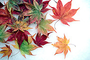 Fall leaves on snow.