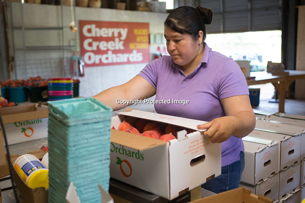 Griselda Nava closes up a 25 pound box of peaches after weighing it at Cherry Creek Orchard in Pontotoc.