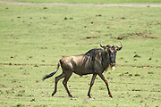Blue Wildebeest (Connochaetes taurinus). Photographed in Serengeti, Tanzania