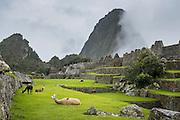 Llamas at Machu Picchu, Peru.