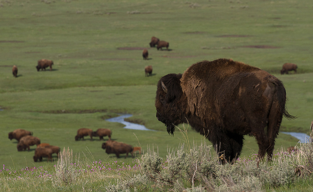 View of the Herd (American Bison)