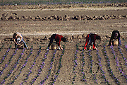 Picking saffron crocus flowers growing in Consuegra, La Mancha, Spain. Saffron has been the world's most expensive spice by weight for decades. The flower has three stigmas, which are the distal ends of the plant's carpels. These are separated from the petals by hand and dried to make saffron spice.