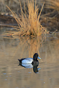Bluebill (Scaup) Drake in breeding plumage