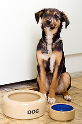 Wallace mixed breed young rescue dog sits with large and small empty dog bowls  Copyright Paul David Drabble