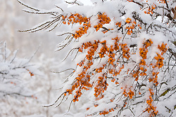 Seabuckthorn covered snow