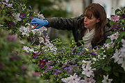 Final T touches to the Raymond Evison Clematis stand - The Chelsea Flower Show organised by the Royal Horticultural Society with M&G as its MAIN sponsor for the final year.