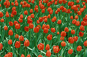 Field of red tulips in spring