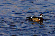 IDAHO. Boise. Wood Duck drake (Aix sponsa) swimming on pond in winter. December 2006 #bw060109