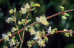 Lonicera x purpusii - Winter flowering honeysuckle