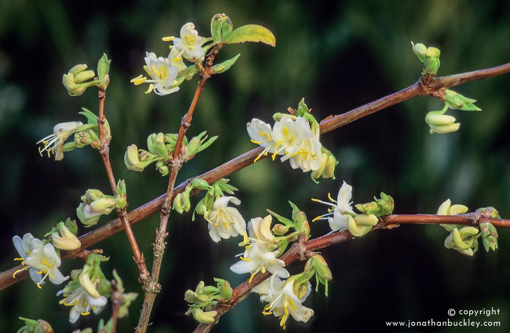Lonicera x purpusii - Winter flowering honeysuckle