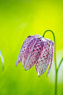 Fritilaria meleagris with  bright green backround