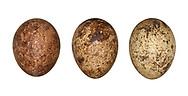 Kestrel - Falco tinnunculus - eggs