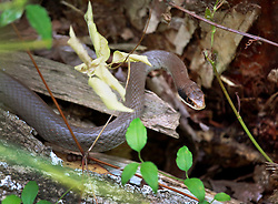 05 June 2014. Jean Lafitte National Historic Park, Louisiana.<br /> A plain bellied water snake.<br /> Charlie Varley/varleypix.com