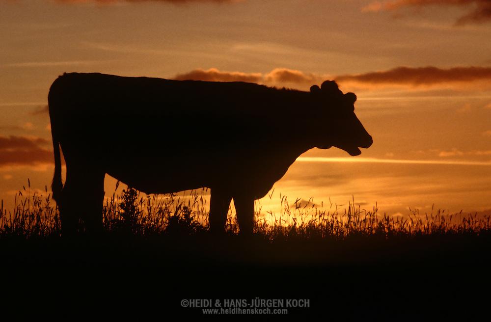DEU, Deutschland: Hausrind (Bos taurus), Kuh bei Sonnenuntergang auf einer Deichwiese, Rasse: Schwarzbunte, Norddeutschland | DEU, Germany: Domestic cattle (Bos taurus), cow standing on dike meadow in sunset, race: Holstein, Northern Germany |